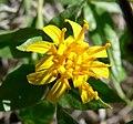 Trixis californica flower 2.jpg