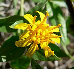 Trixis californica flower 2.jpg