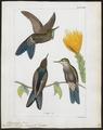 Trochilus stanleyi - 1820-1860 - Print - Iconographia Zoologica - Special Collections University of Amsterdam - UBA01 IZ19100357.tif
