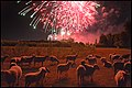Troupeau de moutons et chèvres et un cheval près feu d'artifice 14 juillet Lille 2018 16 e.jpg