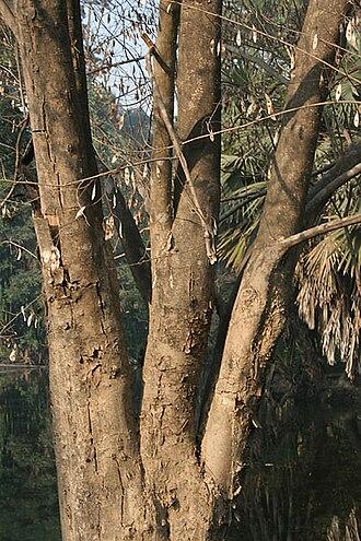 Dalbergia - Trunk of D. lanceolaria