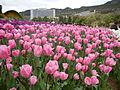 Tulip (100).JPG