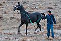 Turkmen Studfarm - Flickr - Kerri-Jo (58).jpg