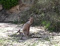 Two wild wallabies jervis bay aus.jpg