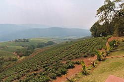 Tea plantation in Tzaneen