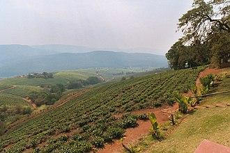Tzaneen - Tea plantation in Tzaneen