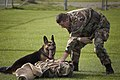 US Navy 041026-N-5134H-004 Canine Handler Master-at-Arms 1st Class Mark Taylor trains his patrol dog Nero to detain a downed suspect.jpg