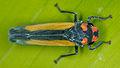 Unknown leafhopper (14524473575).jpg