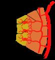 Uterine arterial vasculature-ar.png
