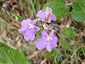 Utricularia tricolor 2.jpg