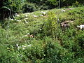 VM 5344 Muyu - Goats on valley slopes north of town.jpg