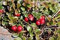 Vaccinium vitis-idaea (fruits s2).jpg