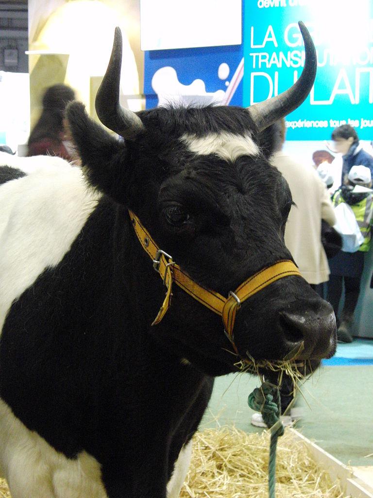 File:Vache-bretonne-pie-noir SDA2014.JPG - Wikimedia Commons
