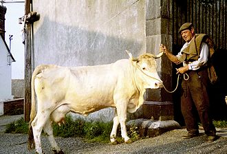 Lourdaise - Cow at Bourreac in the 1960s