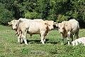 Vaches à Mailleroncourt-Saint-Pancras en 2013 2.jpg