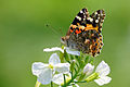Vanessa cardui ventral view 20150316.jpg