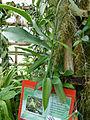 Vanilla planifolia at Queen Sirikit Botanic Garden - Chiang Mai 2013 2551.jpg