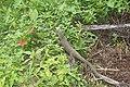 Varanus bengalensis 04691.jpg
