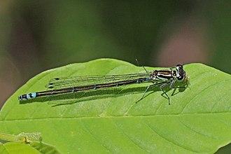 Variable damselfly - Female, dark form, Estonia