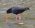 Variable oystercatcher 1 (31595953736).jpg