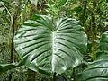Vegetación de la Reserva de la Biosfera La Amistad Panama (RBLAP) 17.JPG