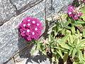 Verbenaceae2.jpg