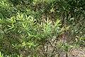 Veronica diosmifolia kz3.jpg
