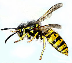 Vespula germanica-gb.jpg