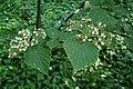 Viburnum betulifolium kz01.jpg