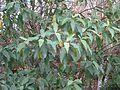 Viburnum cylindricum - Flickr - peganum.jpg