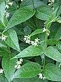Vincetoxicum hirudinaria - Flickr - peganum.jpg