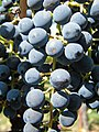 Vineyard at Brix, Napa, California B - Stierch.jpg