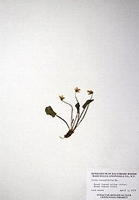 Viola rotundifolia BW-1979-0403-0750.jpg