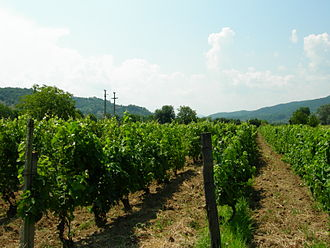 Vrancea County - Vineyards near Focşani, the seat of Vrancea County.
