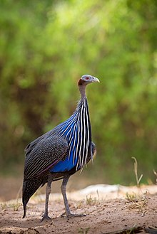 Vulturine Guineafowl at Samburu.jpg