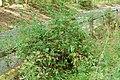 WE Coral Honeysuckle (5664629710).jpg