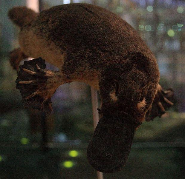 File:WLANL - Urville Djasim - Vogelbekdier - Duck-billed platypus.jpg