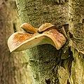 Waaierbuisjeszwam (Polyporus varius) op een dode lijsterbes (Sorbus). Locatie. Natuurterrein De Famberhorst. 08-07-2019. (d.j.b). 03-05.jpg