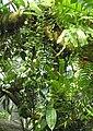 Wachsblume (Hoya lacunosa).jpg