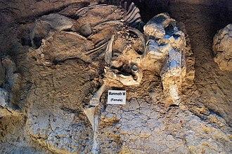 "Waco Mammoth National Monument - Female ""mammoth W"" specimen at the Waco Mammoth National Monument"