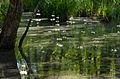 Wasserfeder im Darsswald.jpg