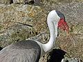 Wattled Crane Jacksonville Zoo RWD.jpg