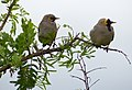 Wattled Starlings (Creatophora cinerea) (11543914826).jpg
