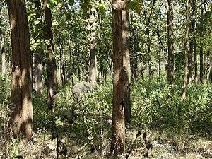 An elephant inside a teak forest, near Kalpetta