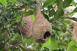 Tool use by animals - Intricate nests of weaver birds