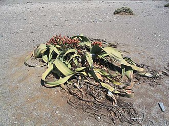 Spermatophyte - Welwitschia mirabilis, a member of the Gnetophyta