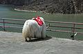 Wenchuan.yak.jpg