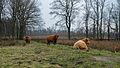 Westerbroek - schotse hooglanders.jpg