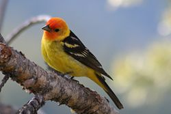 Western Tanager piranga ludoviciana; body visible, male.jpg