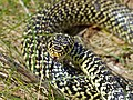 Western Whip Snake (Hierophis viridiflavus) male close-up (Found by Jean NICOLAS) (14086221173).jpg